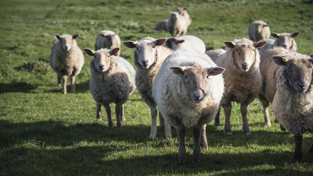 Flock of sheep in Spring sunshine in English farm countryside la